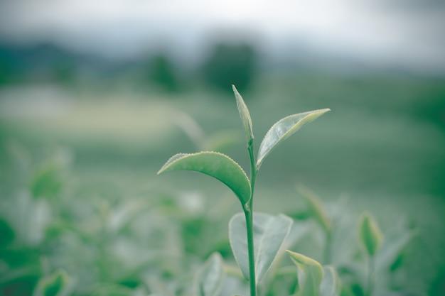 Close-up de folhas de chá verde na plantação de chá com fundo desfocado. cenário de plantação de chá verde, plantação de chá choui fong, tailândia