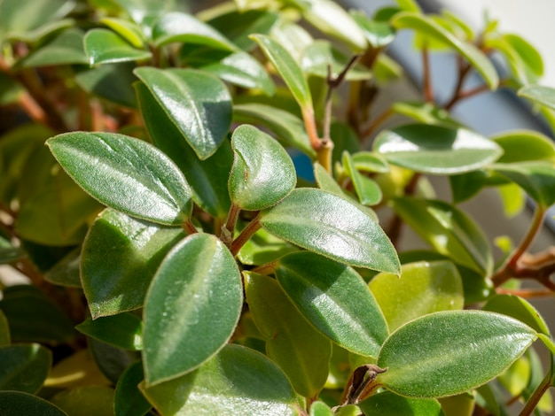 Close-up de folhas de flores de casa verde, foco seletivo