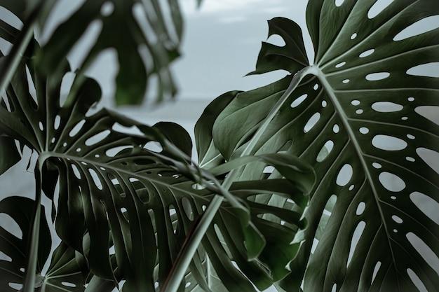 Close-up de folhas de monstera naturais lindas texturizadas.