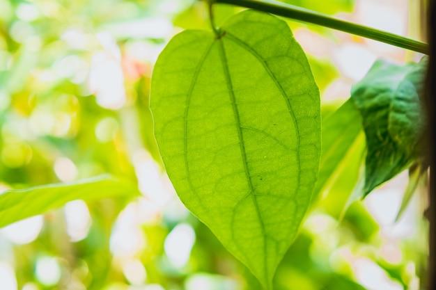 Close up de folhas de videira