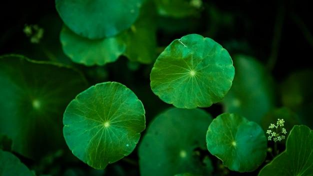 Close-up de folhas verdes de gotu kola em fundo escuro