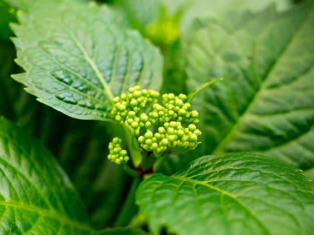 Close-up de folhas verdes de hortênsia. a flor está se preparando para florescer