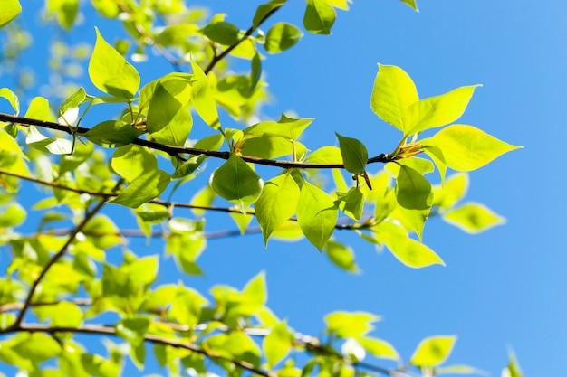 Close-up de folhas verdes de tília na primavera, ao fundo um céu azul