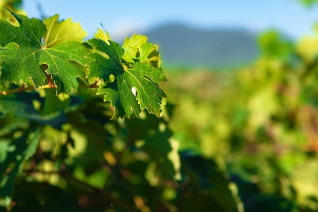 Close up de folhas verdes em arbustos de uvas em uma fazenda