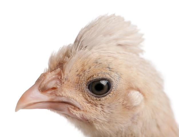 Close-up de frango polonês, 23 dias de idade isolado