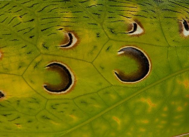 Close-up, de, gafanhoto, malaio, folha, katydid, ancylecha, fenestrata