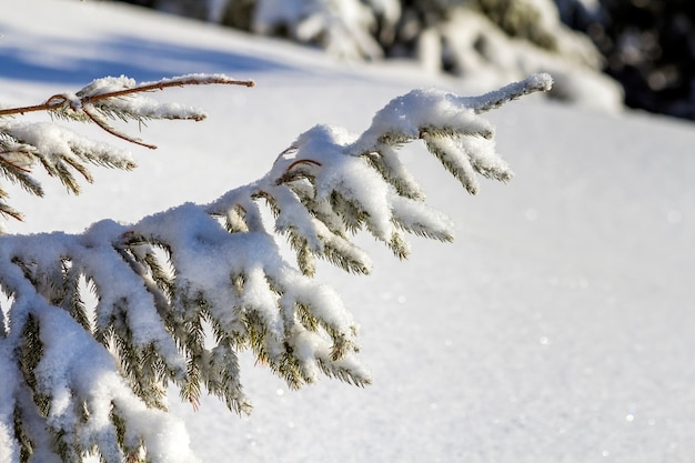 Close-up de galho de pinheiro com agulhas verdes cobertas com neve limpa fresca profunda no espaço de cópia azul turva ao ar livre.
