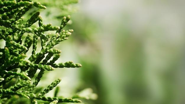 Close-up de galhos de árvores thuja, fundo desfocado com espaço de cópia para o texto. macro fotografia de folhas verdes, foco suave seletivo