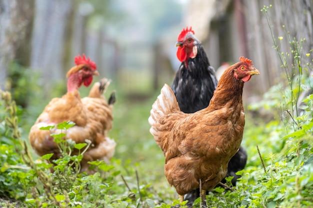 Close up de galinha doméstica se alimentando de um curral rural tradicional