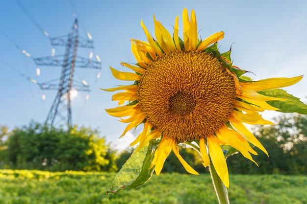 Close-up de girassol amarelo desabrocham no prado no verão