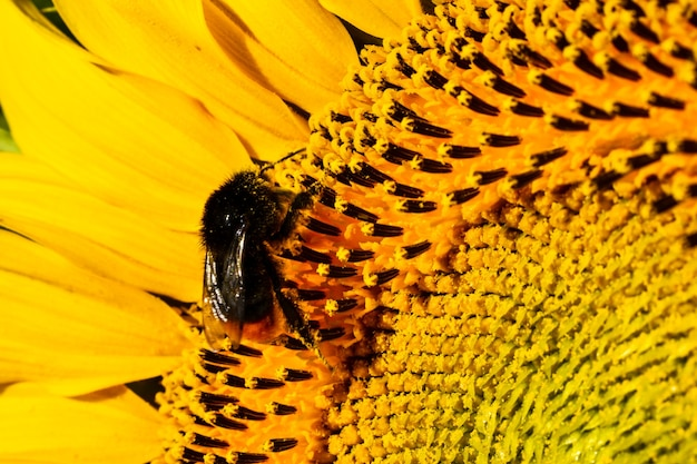 Close-up de girassol com abelha