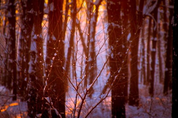 Close-up de gotas congeladas em um galho de árvore, pôr do sol em um bosque nevado e os raios do sol através dos galhos de árvore.
