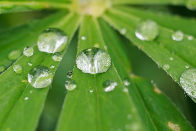 Close up de gotas nas folhas do tremoço