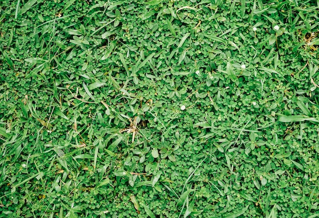 Close up de grama verde natural