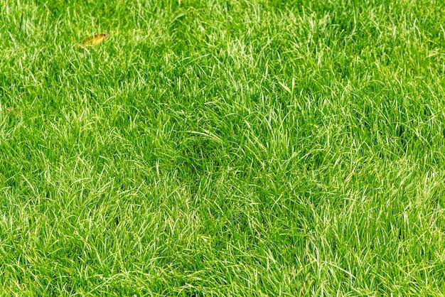 Close up de grama verde