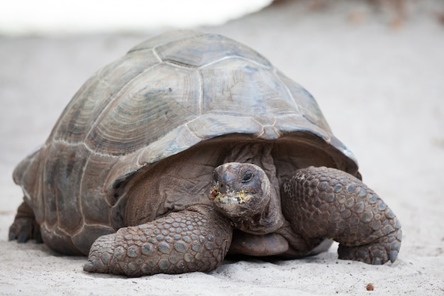 Close-up de grande tartaruga na praia