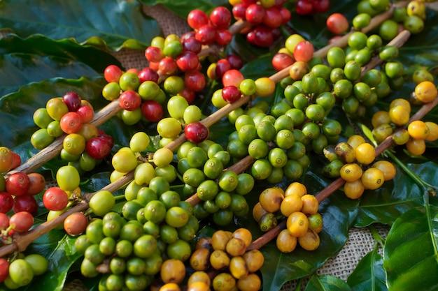 Close-up de grãos de café crus e o sol da manhã.