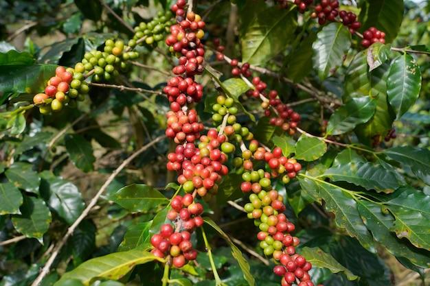 Close-up de grãos de café frescos da planta arábica cultivada em altura no distrito de mae wang, província de chiang mai.