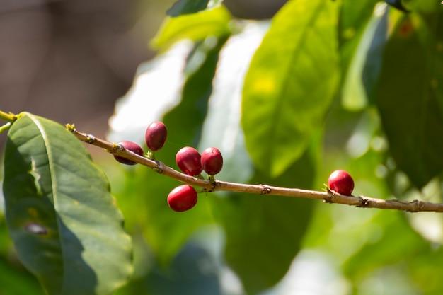 Close-up de grãos de café frescos na árvore.