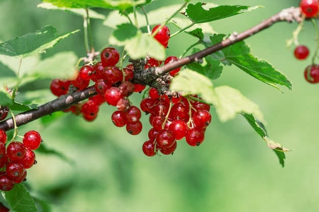 Close-up de groselhas maduras. arbusto de groselha em um jardim