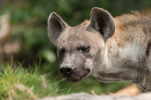 Close-up de hiena-malhada.