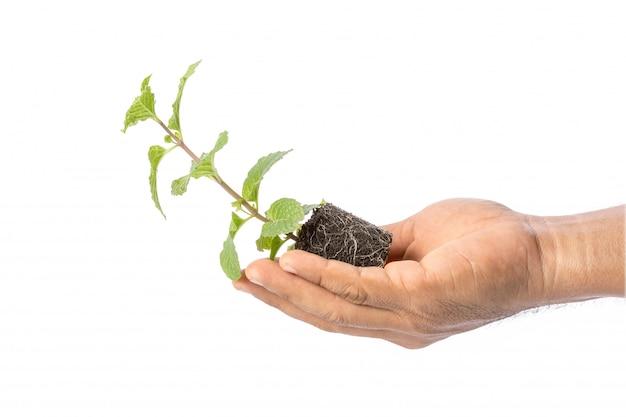 Close-up de hortelã fresca verde com solo
