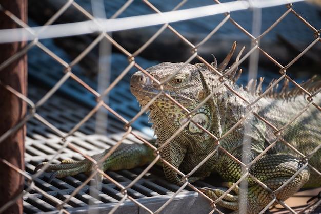 Close-up de iguana na gaiola no zoológico