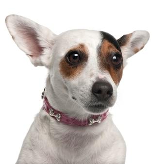 Close-up de jack russell terrier, 2 anos,
