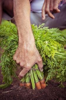 Close-up de jardineiro segurando cenoura bando no jardim