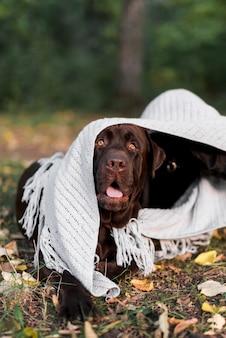 Close-up, de, labrador, cão, em, branca, echarpe