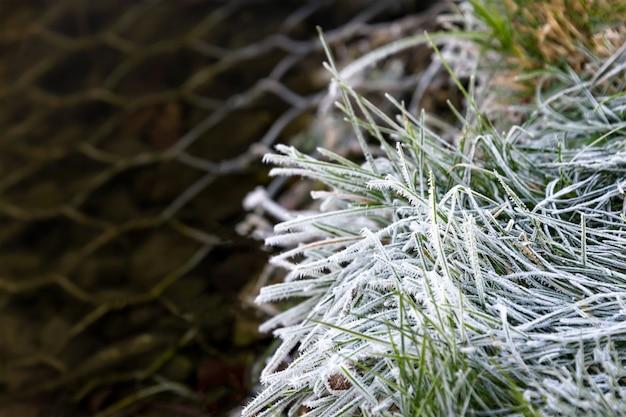 Close-up de lâminas de grama congelada na luz solar de manhã cedo