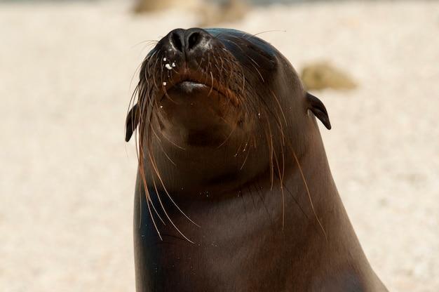 Close-up, de, leão mar galapagos, (zalophus, californianus, wollebacki), baía darwin, genovesa, ilha, ilhas galapagos, equador