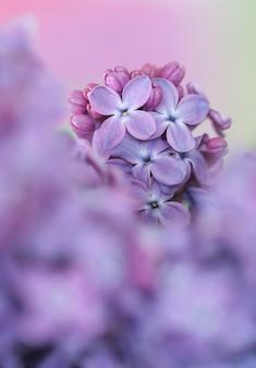 Close-up de lilás