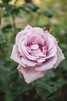 Close-up de lindas rosas