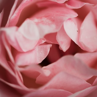 Close-up de lindas rosas