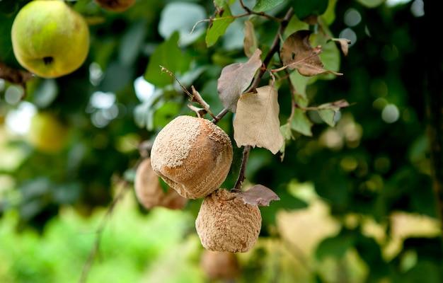 Close-up de maçã podre com mofo na árvore