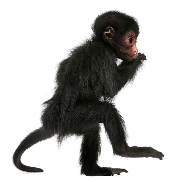 Close-up de macaco-aranha-de-cara-vermelha, ateles paniscus em branco isolado