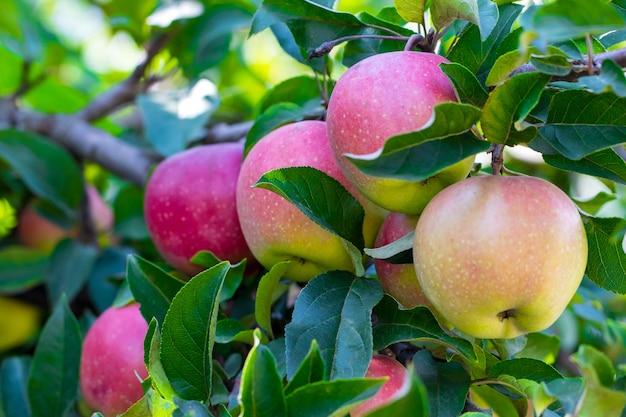 Close-up de maçãs maduras em galho de macieira