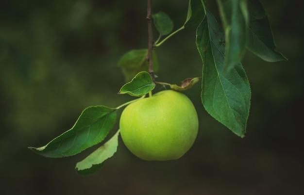 Close up de maçãs verdes em um galho no jardim