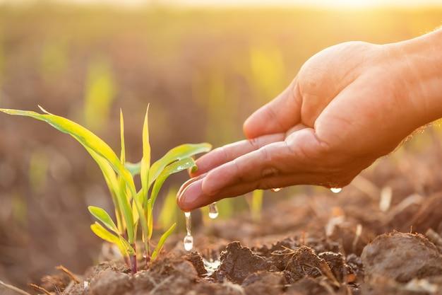 Close-up de mão dando água a jovem árvore de milho no campo na hora por do sol