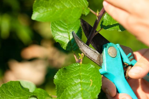 Close-up de mãos com aparador cortar galho de árvore de fruto