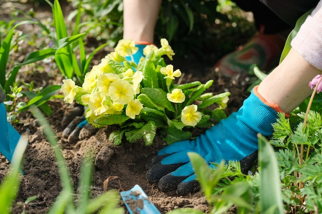 Close-up de mãos de mulher plantando flores de prímula amarela no jardim