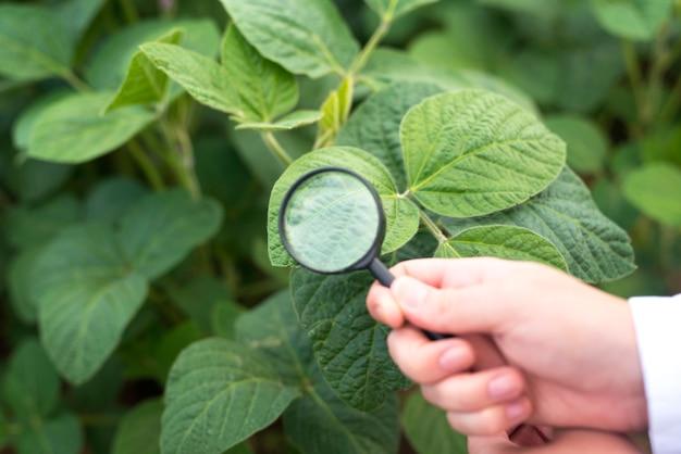 Close-up de mãos segurando uma lupa, verificando a folha de soja