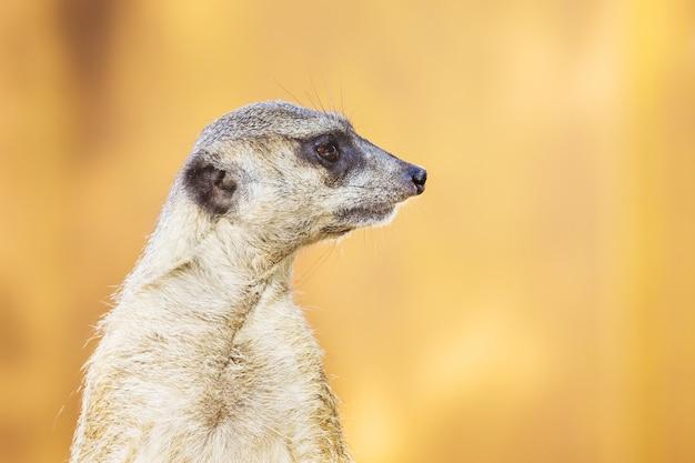 Close up de meerkat em perfil em fundo laranja_