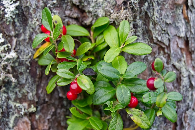 Close up de mirtilos vermelhos na floresta. cowberries vaccinium vitis-idaea vermelho maduro para ilustração.