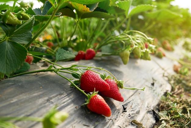 Close up de morangos orgânicos crescendo em estufa