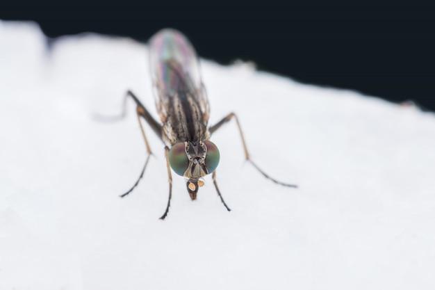 Close-up de mosca