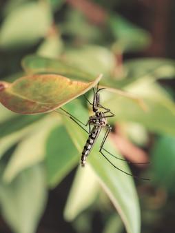 Close-up de mosquito aedes aegypti