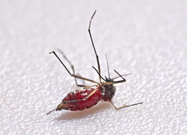 Close-up de mosquito chupando sangue humano