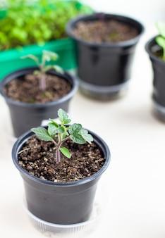 Close-up de mudas de pequenas folhas verdes e finas de um tomateiro em um recipiente que cresce dentro do solo na primavera. mudas no peitoril da janela